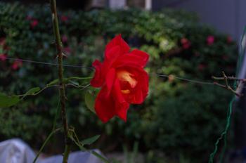 Kobanica_090402_flower_2
