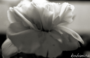 20090515kobanica_flowerbw