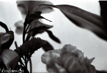 2090515_kobanica_flowerbw2